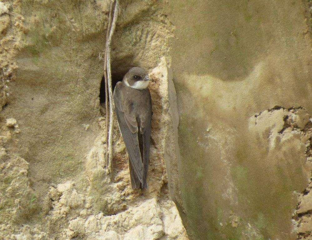 Jaskółka brzegówka przy swojej norce - full image