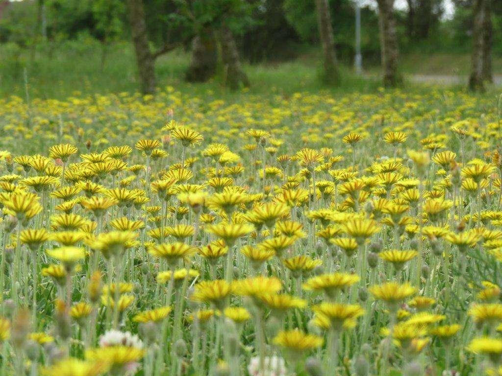 Żółty kobierzec jastrzębca kosmaczka - full image