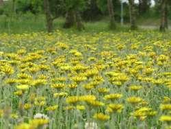 Żółty kobierzec jastrzębca kosmaczka