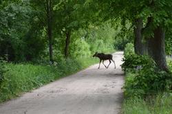 Młody łoś na spacerze w lesie między Bisztynkiem a Dąbrową.