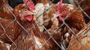 Kurczaki chcą podbić Mazury