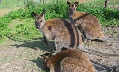 Kangur biega po Warmii. Uciekł z zoo w Nikielkowie