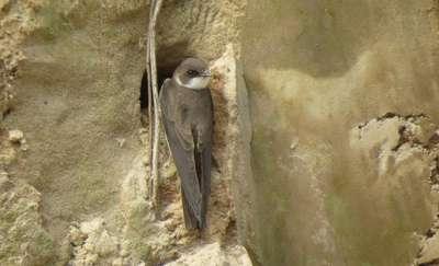 Brzegówka - nasza najmniejsza jaskółka