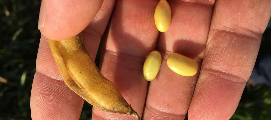 Porównanie wielkości nasion soi opryskanej preparatem Agro-Sorb Folium (7,5 l/ha w dwóch dawkach) i bez zastosowania preparatu. Soja po aplikacji urosła wyraźnie dorodniejsza, a strąki lepiej wykształcone