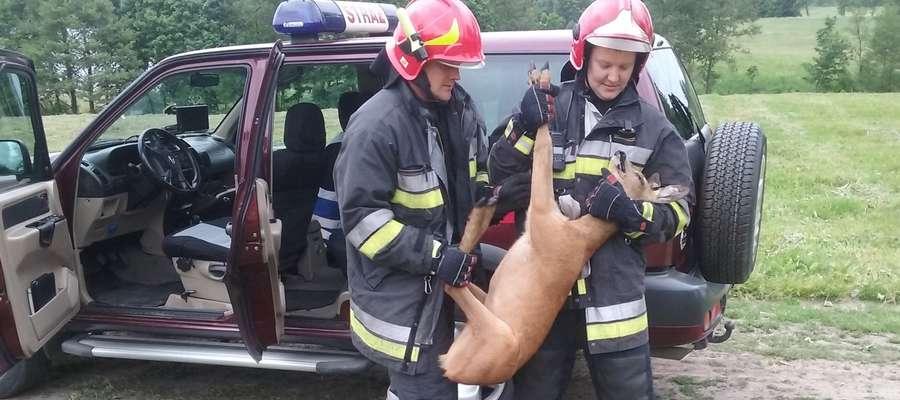 Strażacy złapali sarnę i wywieźli na łąkę pod Ostródą