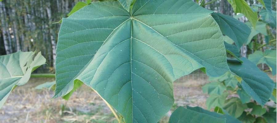Oxytree pochłania 111 ton CO2 w ciągu roku z jednego ha! Na zdjęciu liść drzewa oxytree o powierzchni 2650 cm2 (10.09.2016 r.)