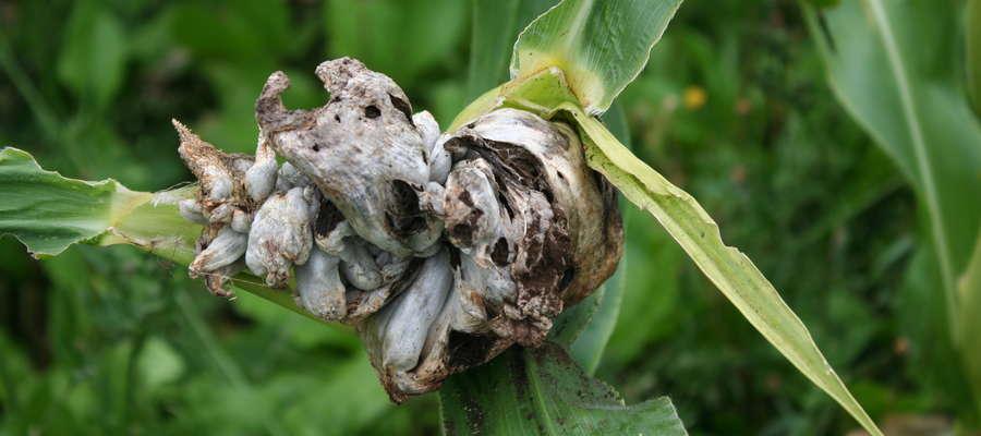 Głownia kukurydzy, objawem  tej choroby są wiechy przekształcone w skupiska niemal czarnych zarodników, co sprawia, że wyglądają jakby były spalone