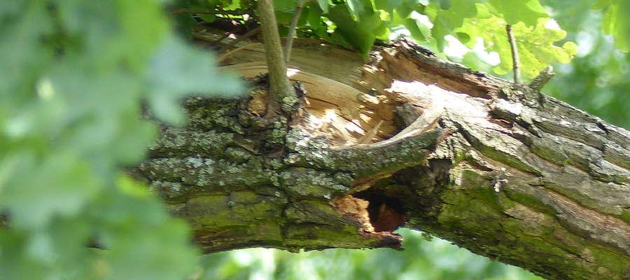 Pęknięty konar drzewa przy ul. 11 Listopada