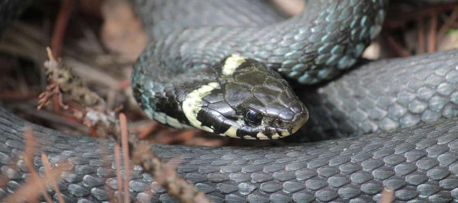 Wąż, który wzbudził przerażenie wśród pań z ośrodka kultury w Bisztynku.