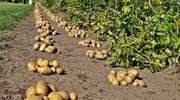 Festiwal Pieczonego Kartofla