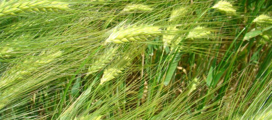 W województwie podlaskim na LOZ na rok 2017 znajdują się: 3 odmiany pszenicy ozimej, 7 odmian pszenżyta ozimego i 6 odmian żyta ozimego
