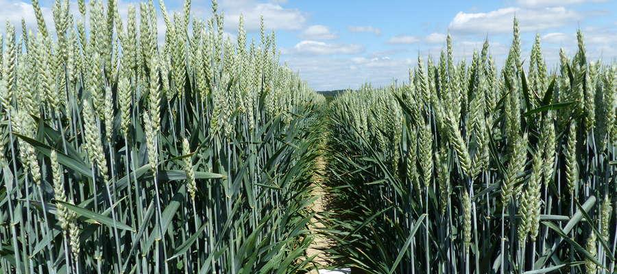 W bieżącym w krajowym rejestrze jest obecnie 110 odmian pszenicy ozimej, 31 jęczmienia ozimego, 48 pszenżyta ozimego oraz 65 odmian żyta ozimego