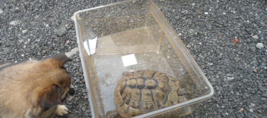 Żółw trafił do schroniska dla zwierząt
