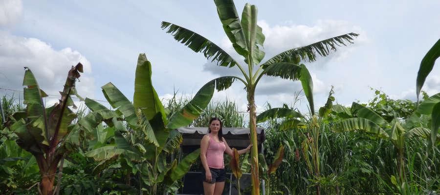 Pani Jolanta Borkowska przy bananowcu, to najwyższy okaz w ich ogrodzie
