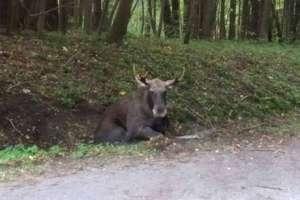 Kierowca potrącił łosia pod Olsztynem. Zwierzęciu nie udało się pomóc. Zostało zastrzelone