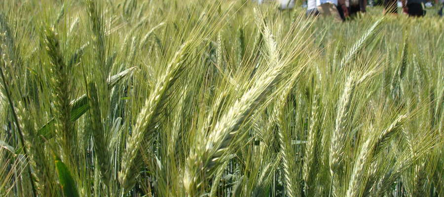 Siew jęczmienia ozimego wykonuje się zawsze w pierwszej kolejności, ponieważ jęczmień jest najdelikatniejszym zbożem wysiewanym w naszym kraju i ma najkrótszy okres wegetacji ze zbóż