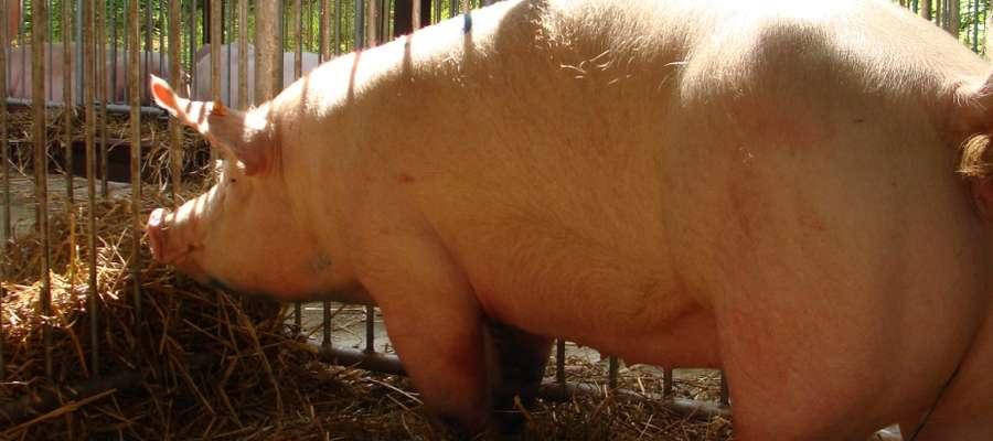 Na 21 września stwierdzono 491 przypadków zakażenia u dzika i 98 ognisko ASF u świń (15 września)
