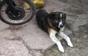 Pies Amor, którego zastrzelił myśliwy.