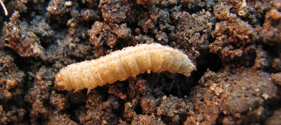 Gąsienica rolnicy czopówki