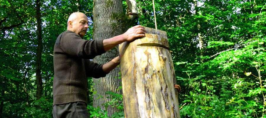 Nowa kłoda bartna będzie schła na drzewie do wiosny