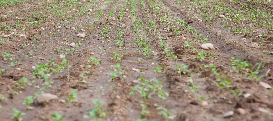 Mamy ostatni moment na wykonanie zabiegu graminicydem, aby wyeliminować samosiewy zbóż