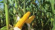 Ile składników pokarmowych potrzeba na tonę ziarna, a ile na tonę zielonej masy?