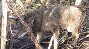 Uratowali wilka, który wpadł w sidła kłusowników