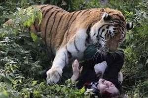 W Kaliningradzie tygrys zaatakował pracownicę zoo
