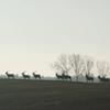 Zdjęcie Tygodnia. Stado jeleni koło Parkoszewa