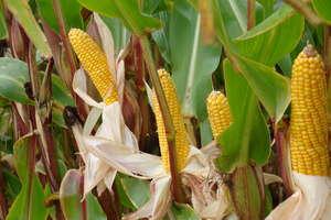 Cechy istotne przy doborze odmian kukurydzy
