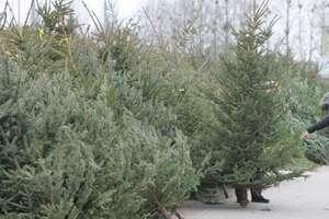 Choinki prosto z lasu. Nadleśnictwa rozpoczynają sprzedaż drzewek