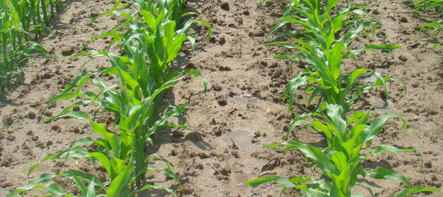 Małopolska Hodowla Roślin od 1872 roku dostarcza na rynek najwyższej jakości kwalifikowany materiał siewny roślin rolniczych