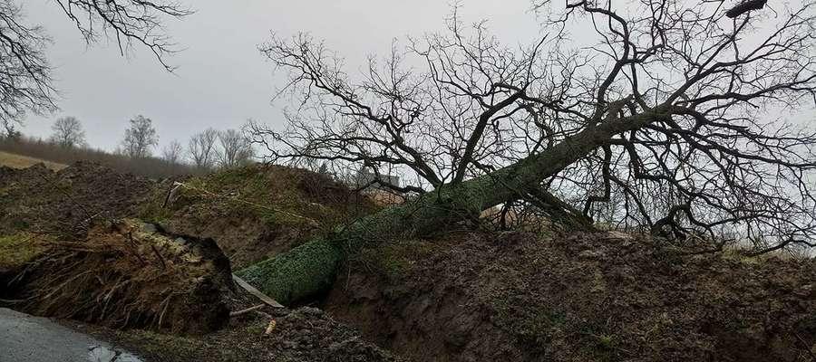 Powalone drzewo w Dzikowie Iławeckim.