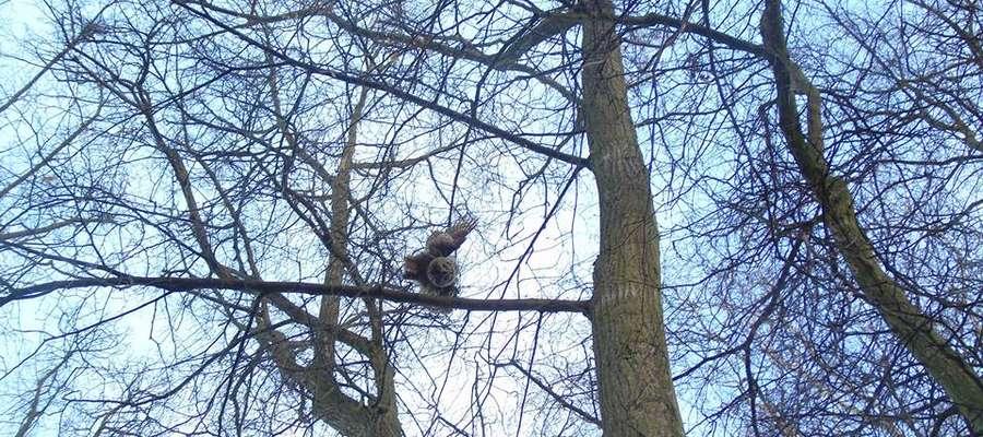 Puszczyk, który zginął z głodu, bo zaplątał się w sznurek w parku Elżbiety w Bartoszycach