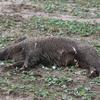 Czy to kolejny przypadek ASF? Zwłoki dzika znaleziono na polu w gminie Bisztynek.