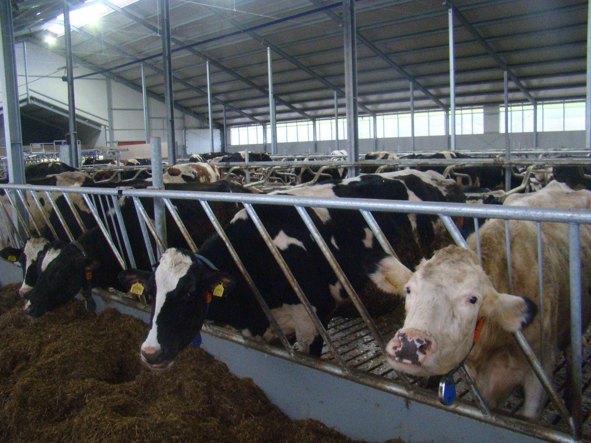 żywienie Krów W Okresie Okołoporodowym Rolnicze Abc