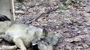 Po 36 godzinach akcji ratunkowej do ośrodka w Napromku trafił wilk potrącony niedaleko Ciechocinka