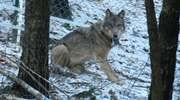 Potrącony wilk, który zdrowieje na Mazurach, już niedługo wróci do lasu