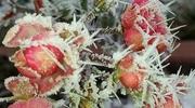 Zdjęcie Tygodnia. Zmrożone róże