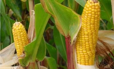 Kukurydza w systemie ekologicznym i integrowanym