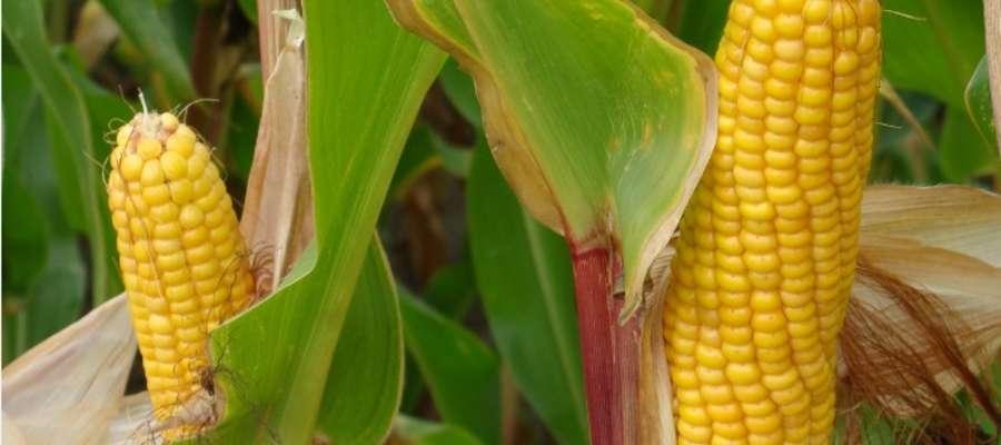Główne źródło przychodów z produkcji kukurydzy niezależnie od systemu jakim jest uprawiana stanowi wartość plonu (średnio 79 proc.) oraz dopłaty bezpośrednie (21 proc.)