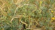 Mieszanki roślin strączkowych ze zbożami