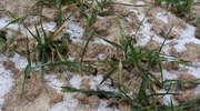 Wiosenna regeneracja ozimin
