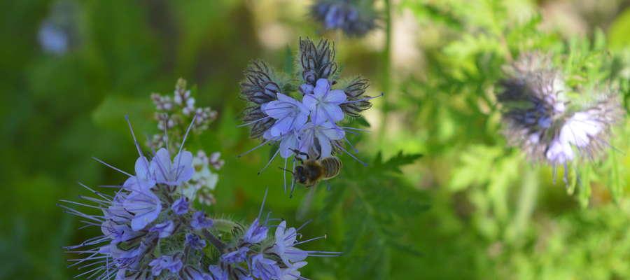Pszczoła miodna na facelii, czerwiec 2017 roku