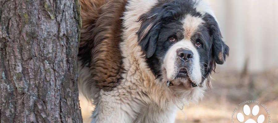 Mufasa to pies typu bernardyn, znaleziony w Gminie Iława