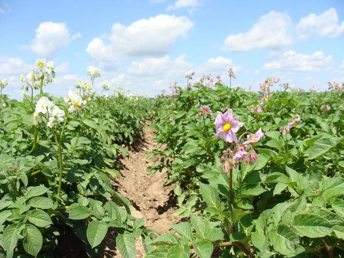 Według wstępnych wyników GUS szacuje się, że w roku 2017 nastąpiło zwiększenie areału uprawy ziemniaków w Polsce w stosunku do 2016 o około 6 proc.