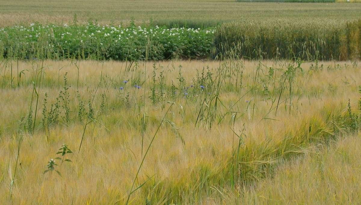 Jedna roślina może wytworzyć nawet do 1000 ziarniaków. Dodatkową cechą przystosowawczą, pozwalającą roślinie przetrwać niesprzyjające warunki, jest zachowanie przez nasiona zdolności kiełkowania nawet przez 10 lat. Jęczmień jary, Bałcyny 2011 r.