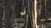 Zdjęcie Tygodnia. Leśne spotkanie z łanią