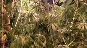 Trzy kilogramy marihuany w mieszkaniu pasłęczanina