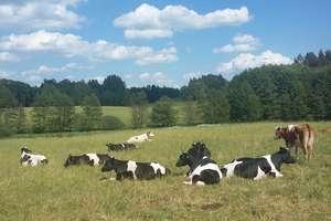 Białko pasz objętościowych jako podstawa produkcji mleka bez GMO, cz. I